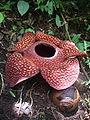 raflesia arnoldii2